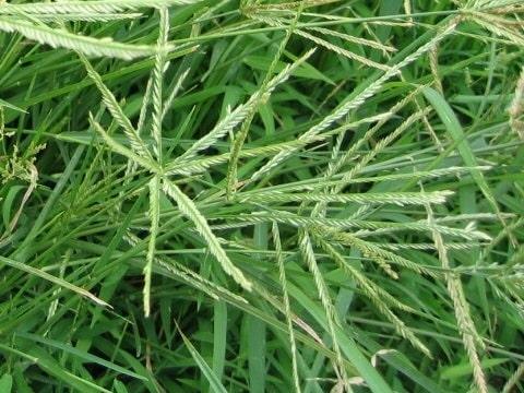 Xem hình ảnh hoa cây cỏ mần trầu thực tế