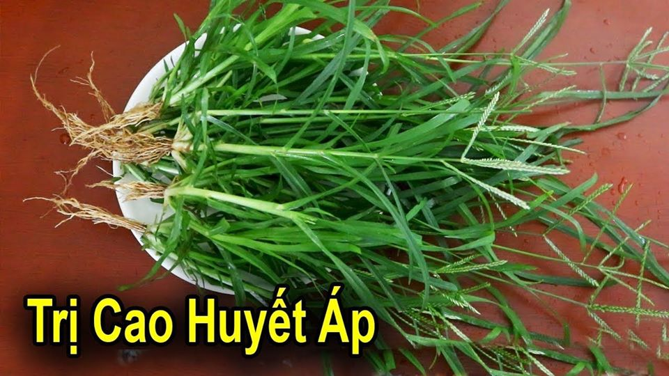 Cây cỏ mần trầu chữa bệnh cao huyết áp rất hiệu quả
